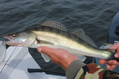 Fish Walleye in the hands of the fisherman. Walleye fish caught in the hands of the fisherman Royalty Free Stock Photos