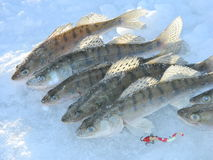 Fish walleye. Zander winter fishing on the river Ob Stock Image
