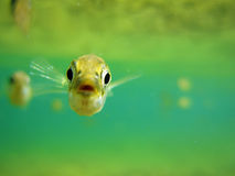 Fish Watching. Underwater photograph of a 3-spine stickleback looking directly at the camera with another in background Stock Images