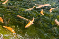 Fish in water. Royalty Free Stock Photography