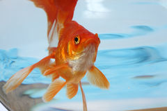 Fish in water. The gold small fish floats in an aquarium close up Stock Photos
