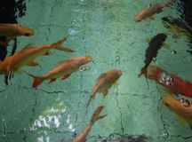 FISH. In water BLUR defocus Stock Image