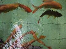 FISH. In water BLUR defocus Royalty Free Stock Image