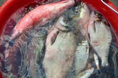 Fish in water. Catching big breams in water in red pail stock photos