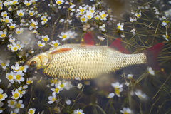 Fish in water flowers. Anglers pay attention to aesthetics of fishing Royalty Free Stock Photo