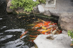 Fish in water Stock Image