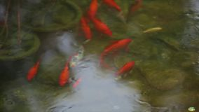 Fish in the water. School of red fish in the pond. Close up stock footage