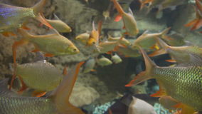 Fish in the water with shiny scales. The fauna. Seaquarium: the rare fish in the aquarium. Fish in the water with shiny scales. The fauna of the underwater world stock video footage