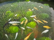 fish in the water royalty free stock images