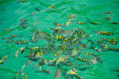 Fish in the water. Yellow fish feeding in sea in Thailand Stock Image