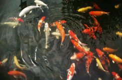 Fish in well. Carp fish more colour stock photo