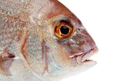 Fish on white Stock Photography