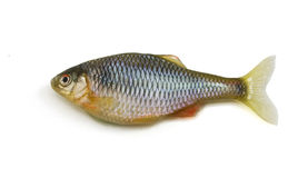 Fish on white background Royalty Free Stock Image