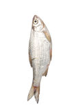 Fish on a white background.  stock photo