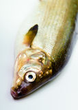 Fish on a white background. herring Royalty Free Stock Image