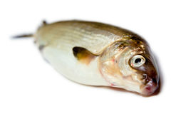 Fish on a white background. herring Stock Photo