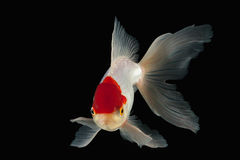 Fish. White Oranda Goldfish with red head on black background Royalty Free Stock Photography