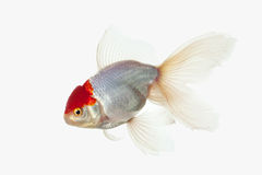 Fish. White Oranda Goldfish with red head on white background Royalty Free Stock Images