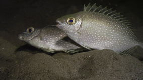 Fish with white spots underwater in ocean of Philippines. stock footage