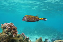 Fish white-spotted boxfish Ostracion meleagris Stock Image