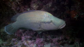 Fish wrasse and cleaners on reef at night stock video footage
