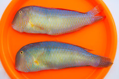 Fish Xyrichthys novacula also called Raor pearly razorfish. Or cleaver wrasse Stock Photo