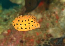 Fish - Yellow boxfish - juvenile. Ostracion cubicus in Lembeh Strait, North Sulawesi, Indonesia royalty free stock photo