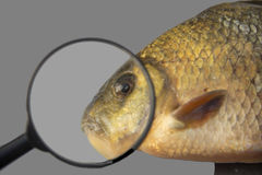 Fish. Yellow fish eyes looking through a magnifying glass Royalty Free Stock Photos