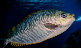 Fish Yellow fin Stock Images