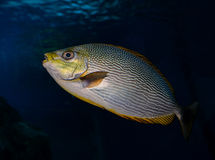 Fish Yellow fin Royalty Free Stock Photography