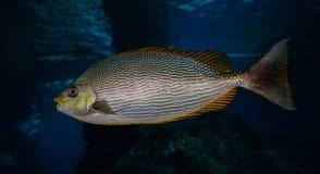 Fish Yellow fin Stock Photos