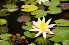Fish and yellow lotus flower and leaves in the pond Stock Photography