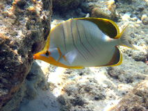 Fish : Yellowhead Butterfly. A yellow coloured Yellowhead Butterfly in Indian Ocean, neara to the coral reef Stock Image