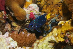 Fish Yellowtail damselfish Microspathodon chrysurus. Caribbean reef fish underwater, Yellowtail damselfish in intermediate phase, Microspathodon chrysurus Royalty Free Stock Photo