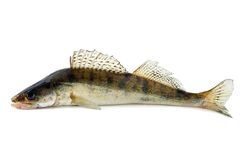 Fish zander royalty free stock images
