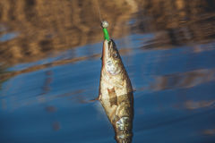 Fish Zander caught on a hook Stock Photography