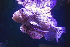 Fish Zebra lionfish Royalty Free Stock Photo