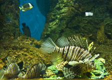 Fish-zebra (Pterois volitans) Stock Photos