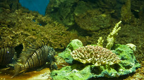Fish-zebra (Pterois volitans) and corals Stock Photography
