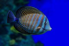 Fish Zebrasoma desjardinii closeup on blue background. Zebrasoma desjardinii in blue water on a background of corals. Fish close-up, side view royalty free stock photography