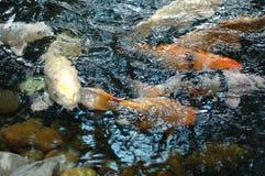 fish1 koi 库存照片