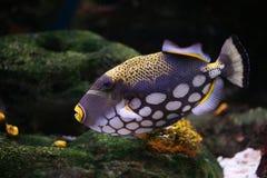 fishbalistoides conspicillum тропические Стоковое Изображение