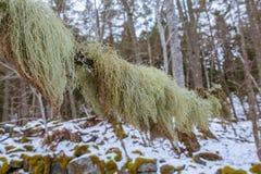 Fishbone λειχήνα γενειάδων Στοκ εικόνες με δικαίωμα ελεύθερης χρήσης