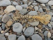 Fishbone auf Kieseln Stockbilder