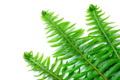 Fishbone Fern Royalty Free Stock Photography