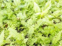 Fishbone fern Stock Photography
