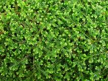 Fishbone fern. Nephrolepsis fern leaf tamarind used for decoration as an ornamental plant Royalty Free Stock Photos