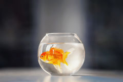 Fishbowl. Goldfish in glass aquarium indoors Stock Photos