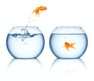 fishbowlguldfiskbanhoppning ut royaltyfria bilder