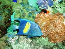 Fishe blu Fotografie Stock Libere da Diritti